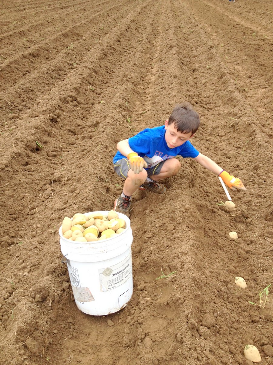 Planting potatoes--all hands on deck