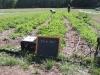 Strawberry fields (for a few weeks)