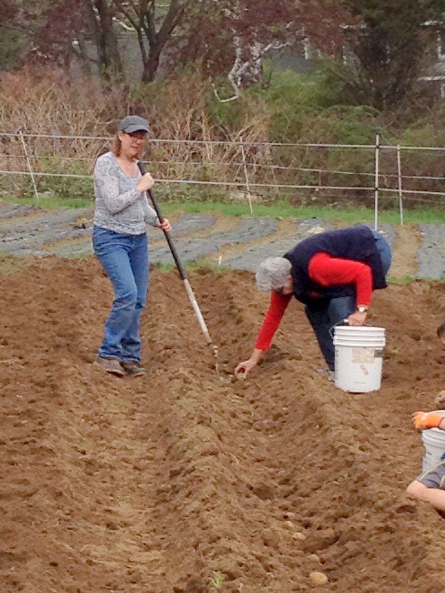 Planting spuds