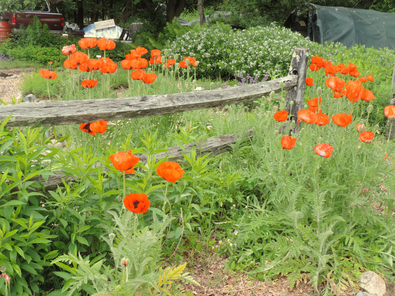 Poppies in Penelope's Garden