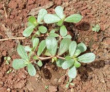 Purslane: A Weed You Can Eat
