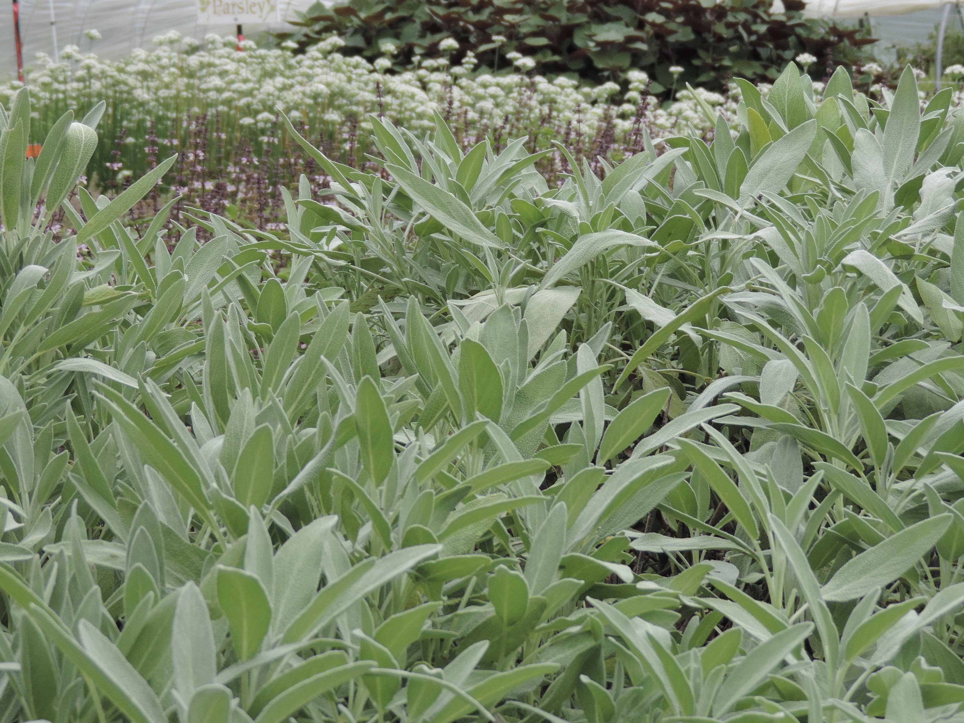 Herb Notes: Sage