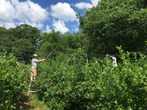Mark and Chris Put Up Blueberry Netting