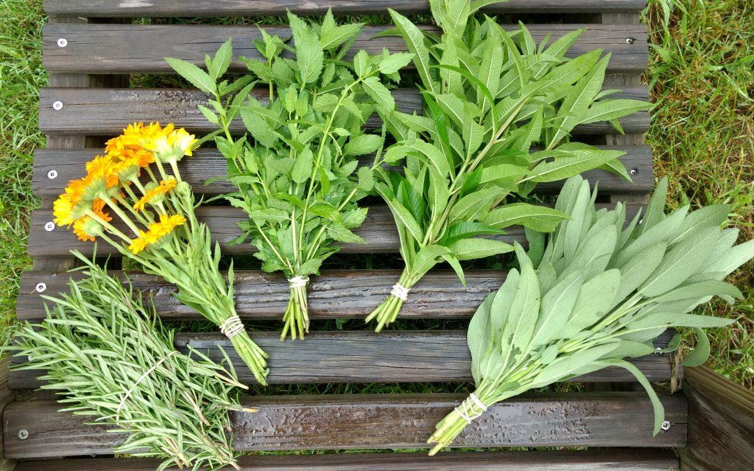 Rosemary Ready to Harvest