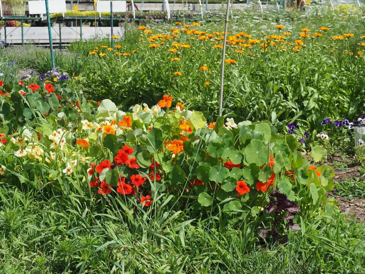 Edible Flowers in Herb Garden