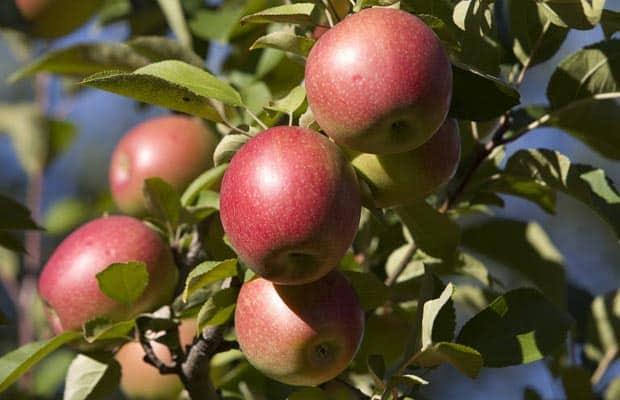 Fall Fruit Share Starts in September