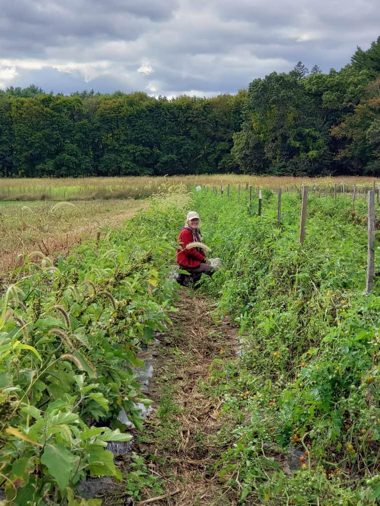 Ember harvesting tomatoes