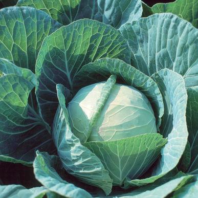 Cabbage: Farao