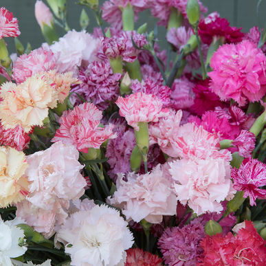 Dianthus: Chabaud Picotee Double Mix