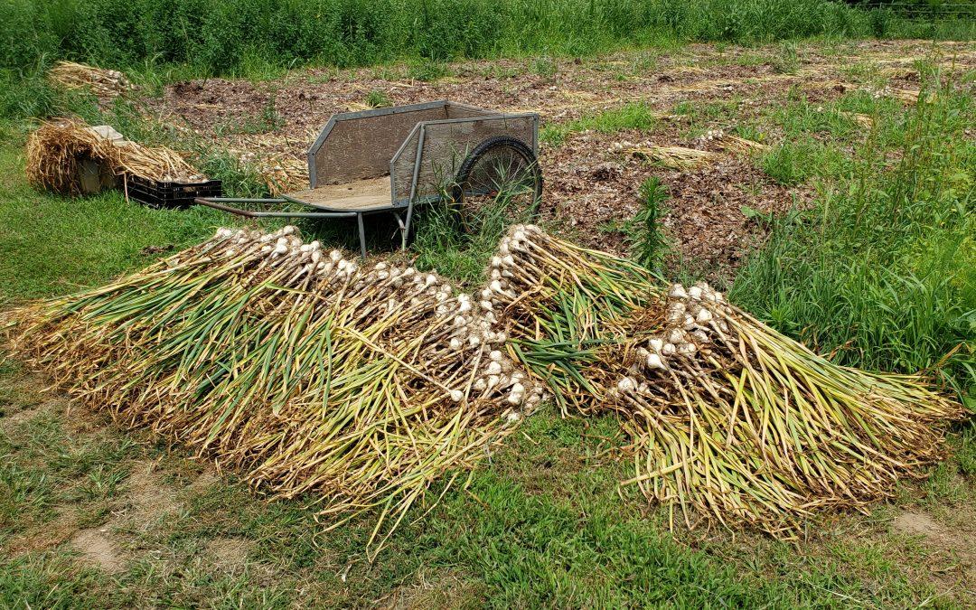 Garlic Cures