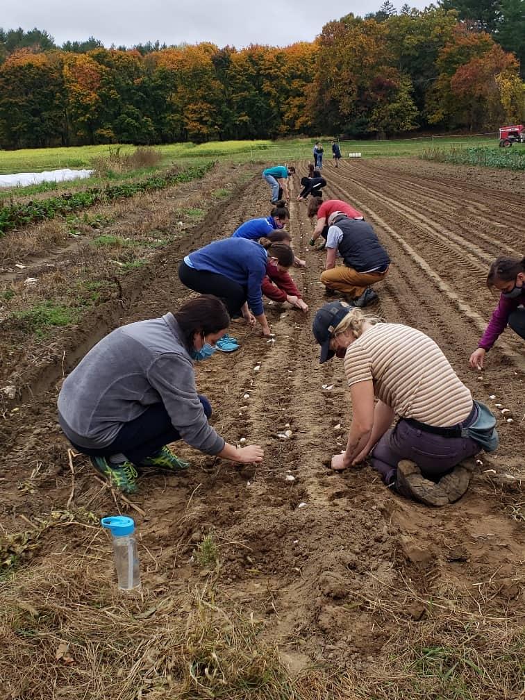 Planting Garlic Row
