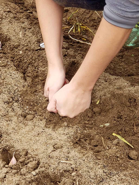 Planting Down the Garlic