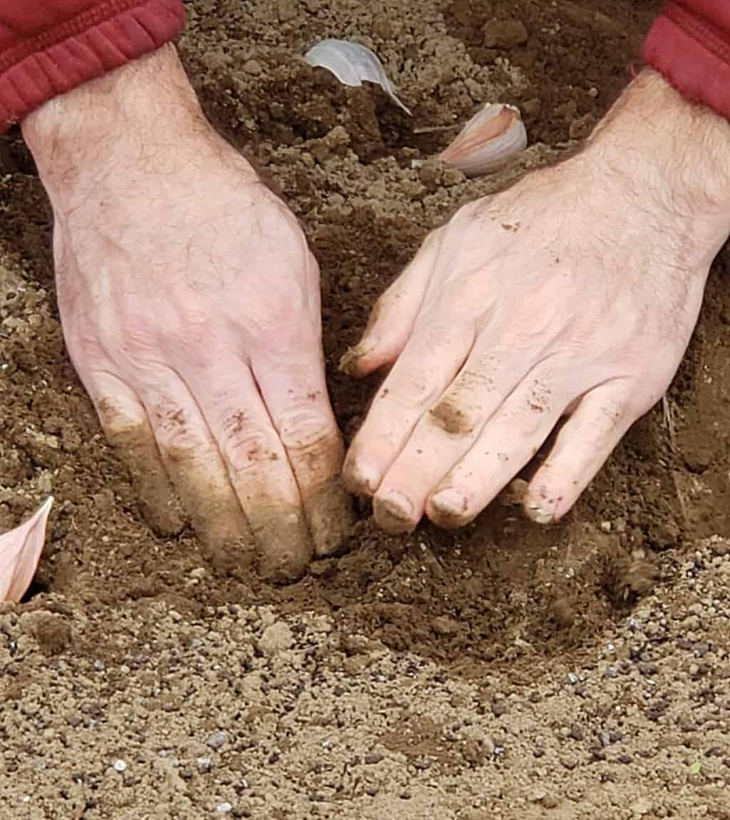 Hands Planting Garlic