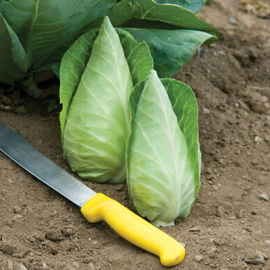 Cabbage: Caraflex