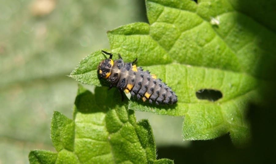 Ladybugs Eat Aphids!