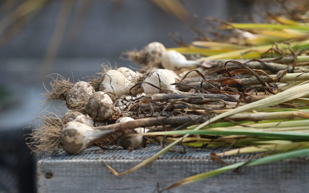 Garlic Distribution